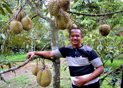 Wisata Kebun Durian Candimulyo Sentra Kebun Durian Candimulyo Kabupaten Magelang Jawa Tengah