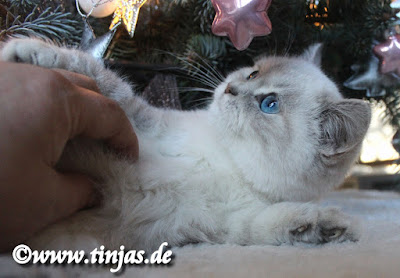 Britisch Kurzhaar Katzenbaby blue golden tabby point 2