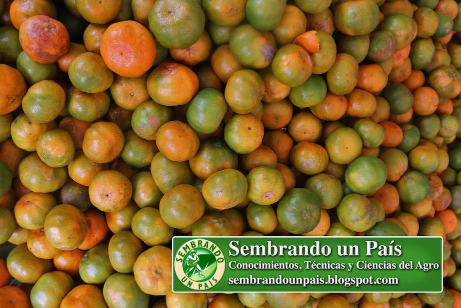 mandarinas de buena calidad