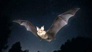 تعرف على خفاش حدوة الحصان الذي سبب ظهور فيروس كورونا