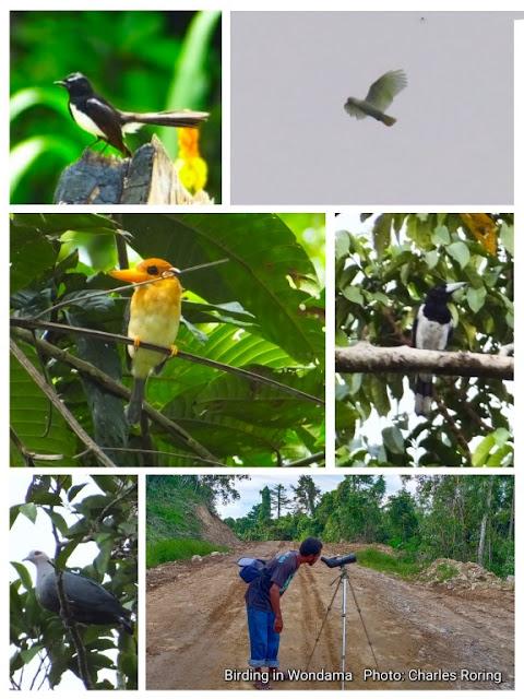 pengamatan burung di Wondama