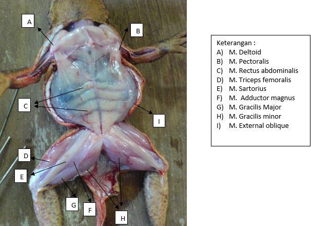 Otot yang menyusun katak tampak ventral