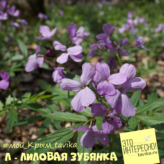 цветы зубянки пятилистной, Крым