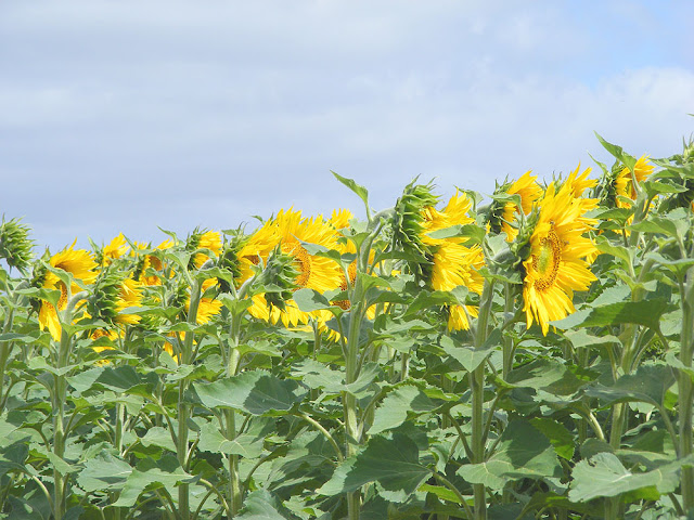 Sunflower crop. Indre et Loire. France. Photo by Loire Valley Time Travel.