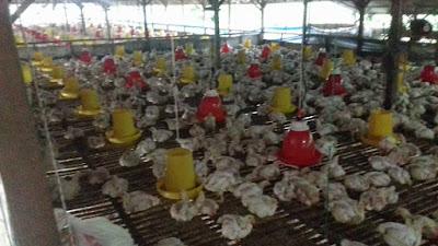 Analisa Usaha Ayam Potong, Bisnis Ternak Yang Menjanjikan