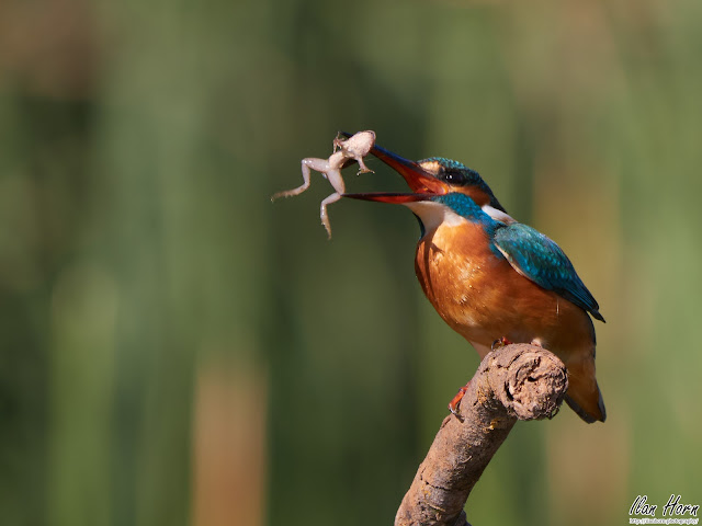 Common Kingfisher Flipping a Frog