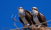 Osprey pair on their nest, PEI, Canada - by Matt Beardsley, Apr. 2016