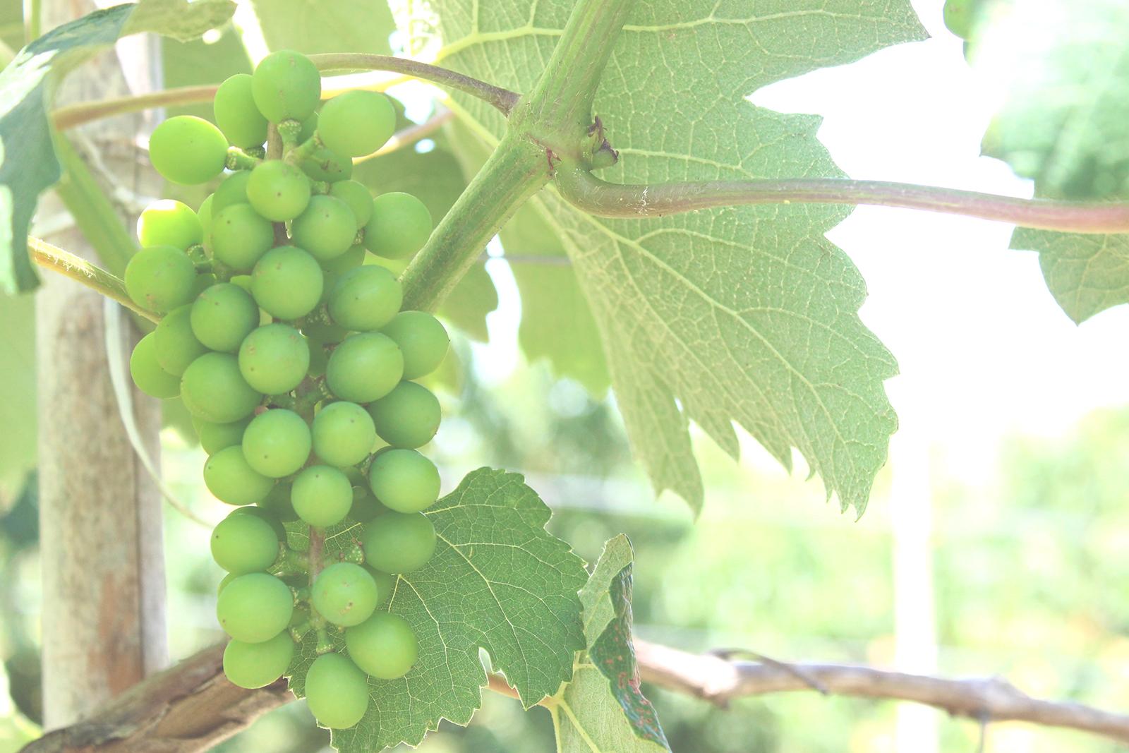 cachos uvas verdes