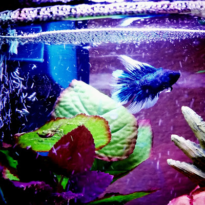 Butterfly betta fish living in tank with a heater and filter