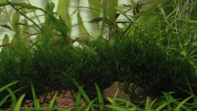 Taxiphyllum Var. Flame Moss