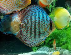 Mengenali Penyakit Discus jenis ikan hias