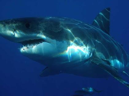 10 معلومات مهمة جدا عن اسماك القرش !