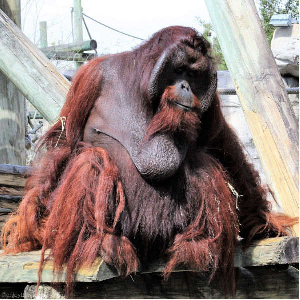 large male orangutan sitting on some logs