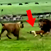 Leões vão pra cima do cachorro e veja o que ele aprontou