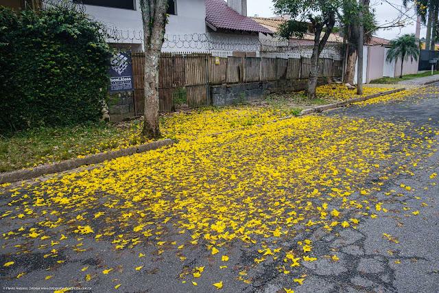 Flores de ipê amarelo na rua, derrubas pelo vento e chuva