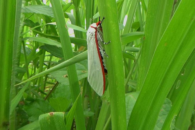 Dlium Red costate tiger moth (Aloa lactinea)