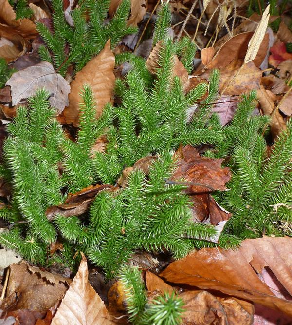 Staghorn clubmoss / Lycopodium clavatum