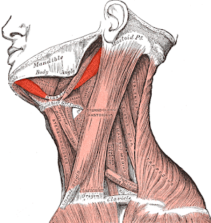 digastric muscle, picture