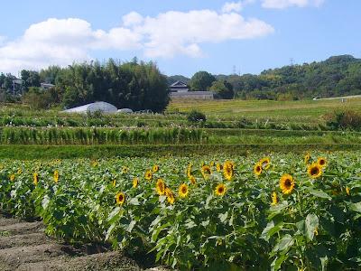 大阪府枚方市・穂谷コスモスの里・ひまわり畑