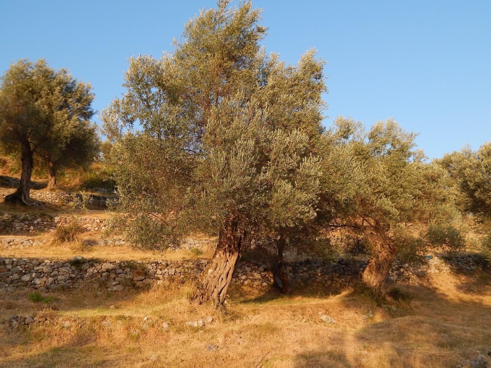 Olivovníky v Černé hoře