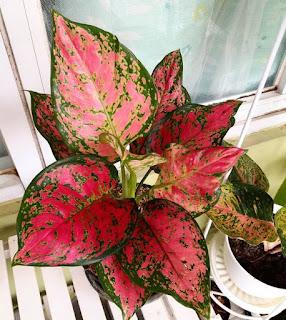 tanaman hias daun merah