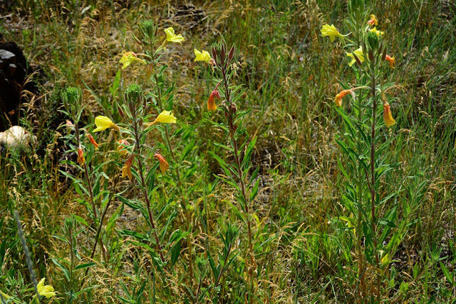 Oenothera elata