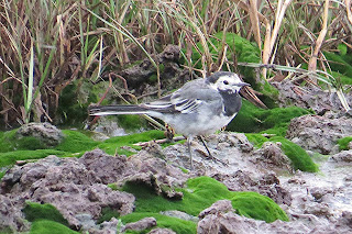 Pied Wagtail at Lytchett Fields © Roger Peart.