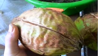Castanha de Coqueiro anão