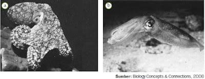 Klasifikasi, Ciri-Ciri, Sistem Pencernaan Hewan Filum Mollusca dari Kelas Gastropoda, Bivalvia dan Cephalopoda