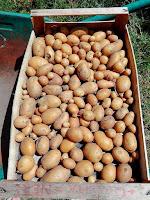 Luglio nell'orto: raccolto di patate