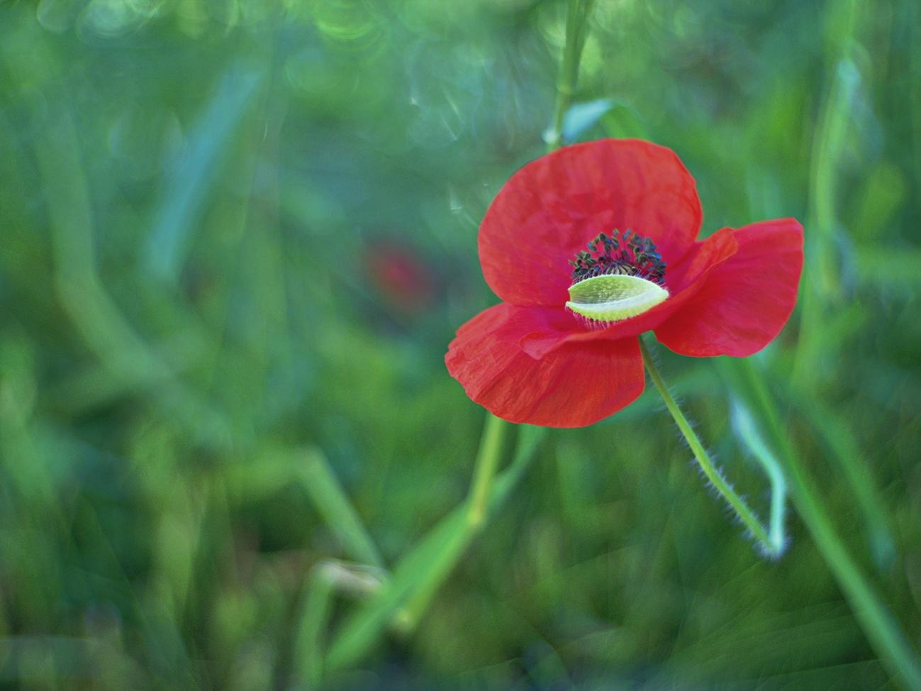 Mohn mit Eierschale - Oder frisch geschlüpfte Blüte