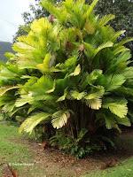 Tiger palm tree - Ho'omaluhia Botanical Garden, Kaneohe, HI