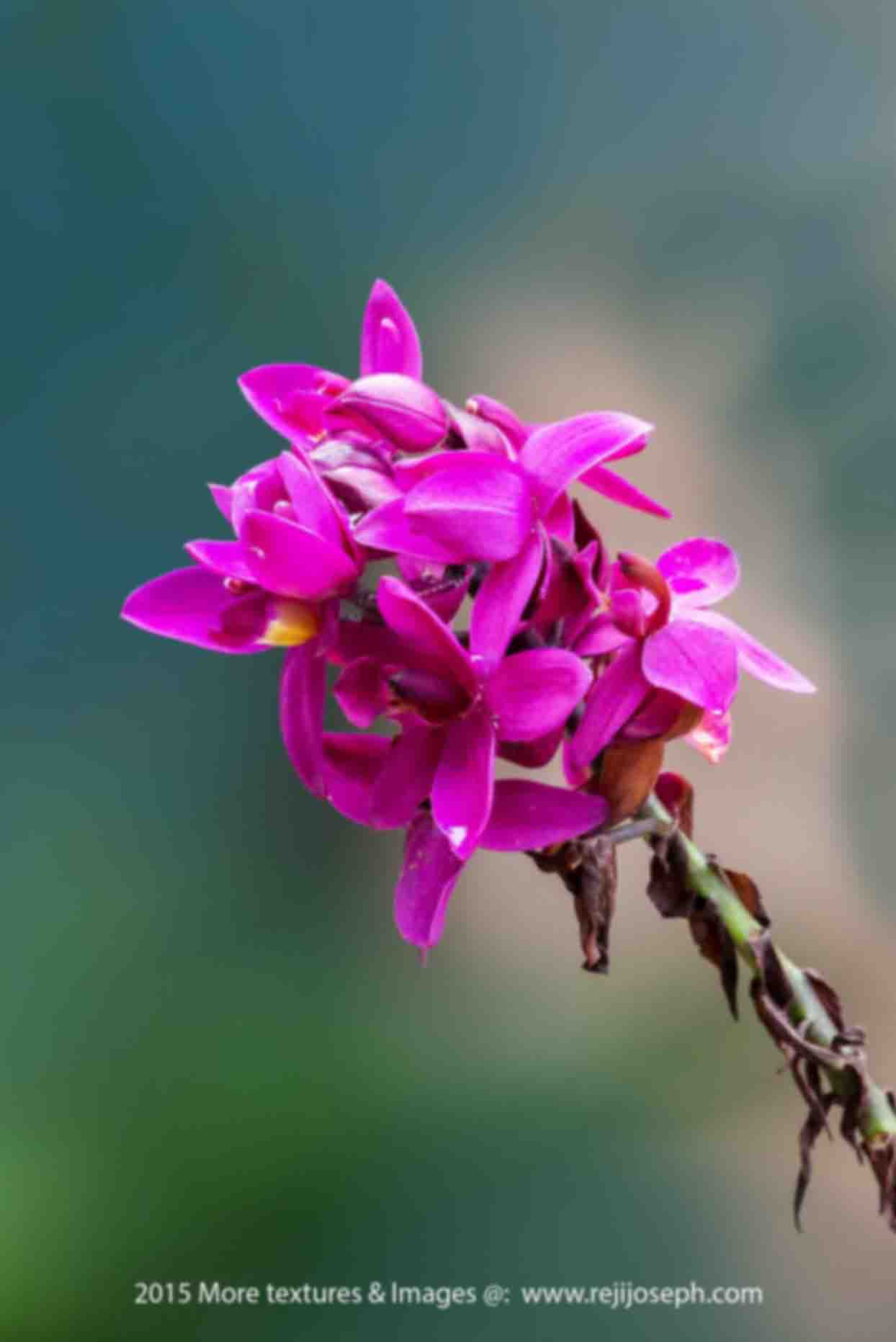 Orchid flower 00001