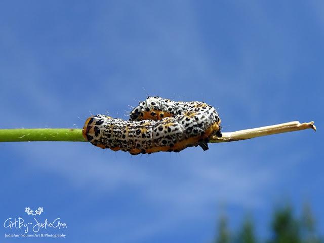 Pyrrhia Caterpillar Moth Larvae