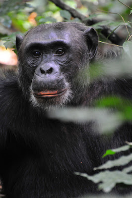 Wildlife safaris in Congo, Gorilla trekking in Congo, Birding safaris in Congo