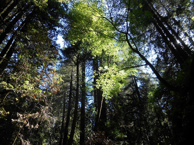 redwoods, trees, blue sky,
