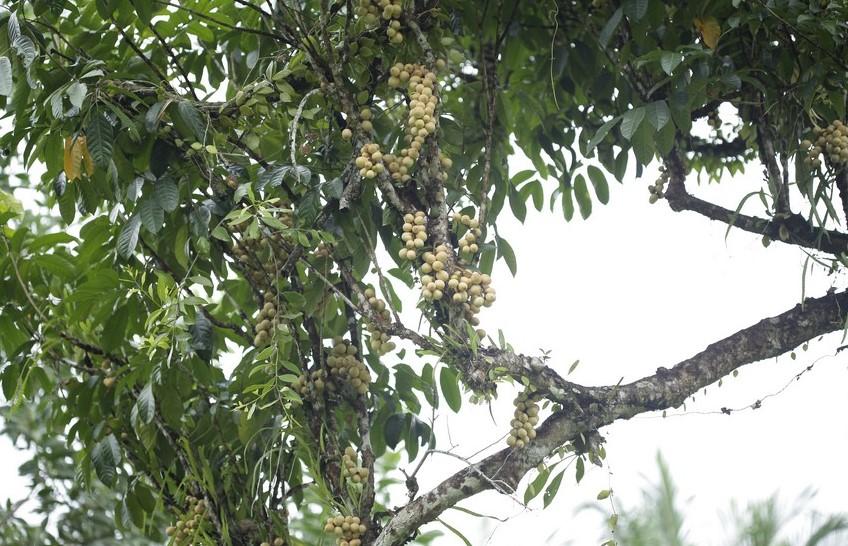 pohon langsat berbuah lebat