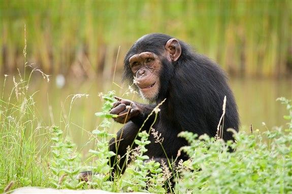 Şempanze - Ş Harfi ile Hayvan İsimleri