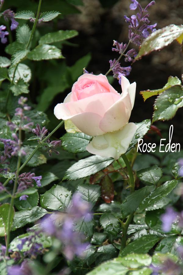 die gartenbotschafterin eine rose ist eine rose ist eine rose. Black Bedroom Furniture Sets. Home Design Ideas