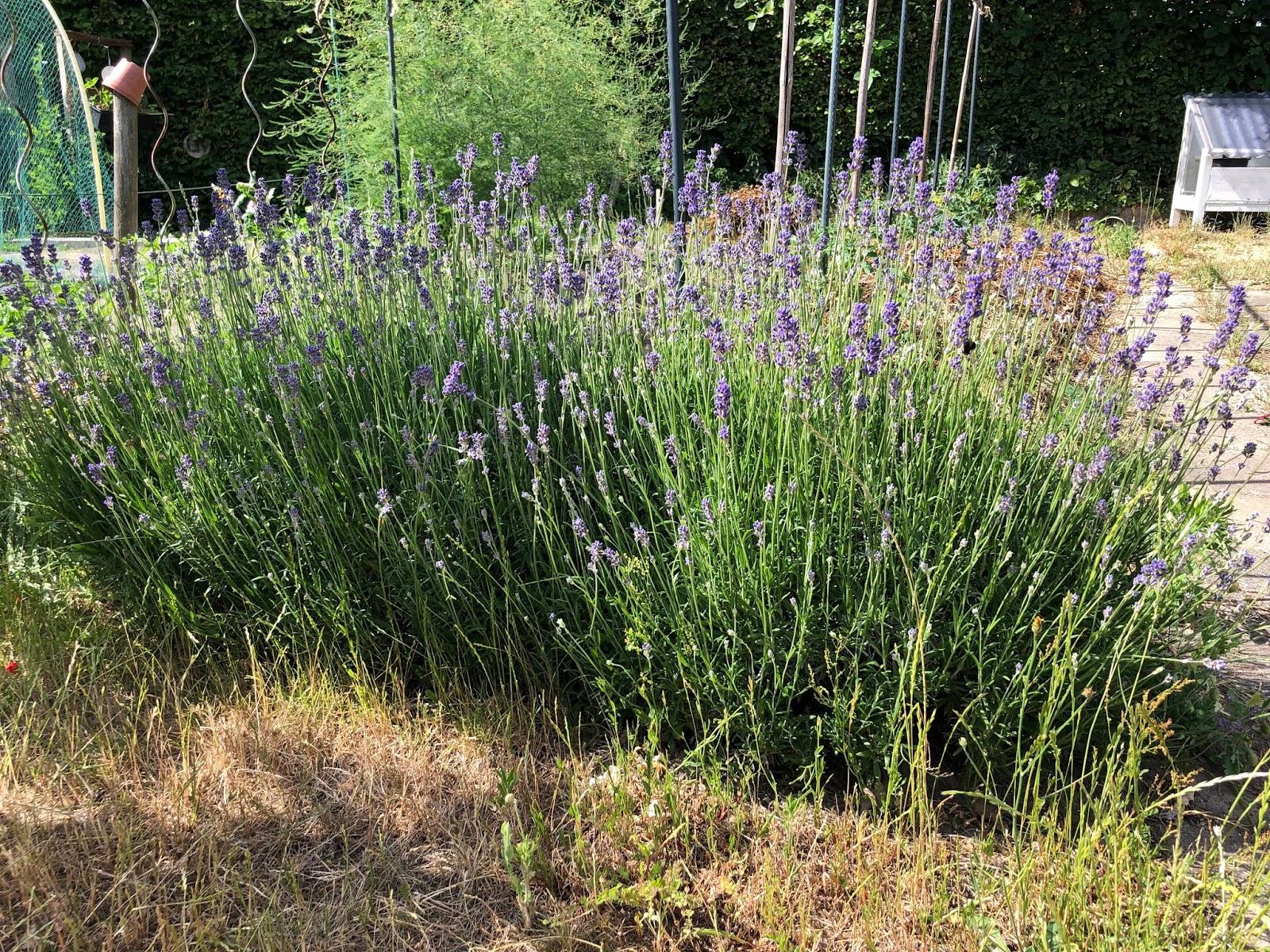 droogte 2020 moestuin volkstuin lavendel