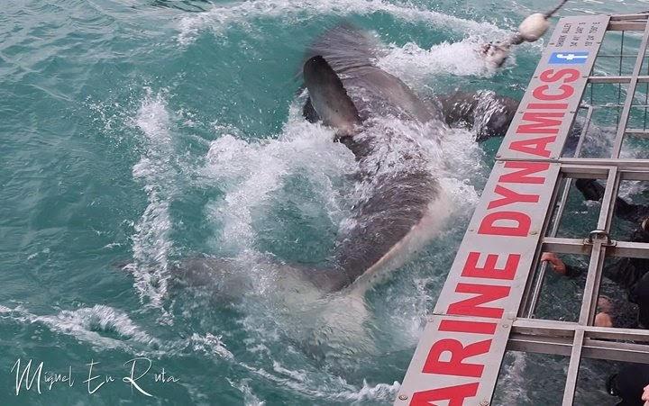 Tiburón-blanco-en-jaula-Sudáfrica