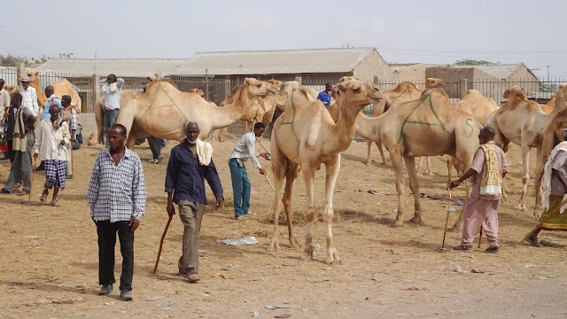 Somaliland farmers look for new camels