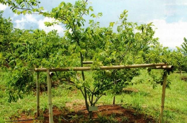 Perawatan Pohon Dan Media Tanam Agar Srikaya Berbuah Lebat