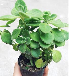 Cây Nhất Mạt Hương