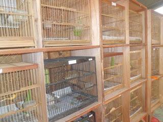 Penangkaran Burung Kenai Yang Memiliki Nilai Ekonomis yang Sangat Menggiurkan - Bisnis Menangkarkan Kenari