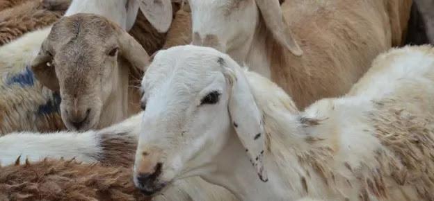 Hukum Menjual Daging Kurban