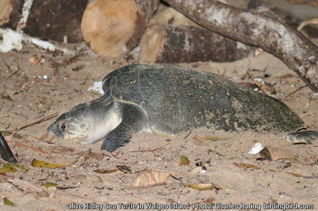 Olive ridley turtle was laying eggs