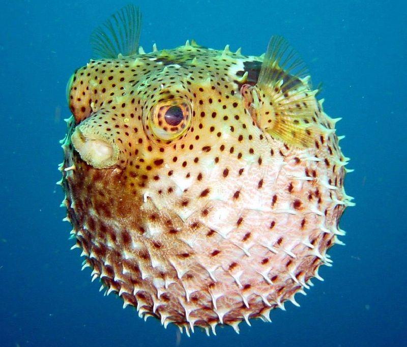 Gambar Ikan Laut Buntal