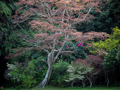 Shakunage (Rhododendron metternichii) flowers and a Momiji (Maple) tree: Kaizo-ji