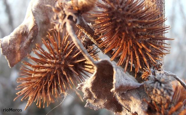 Fruto seco de Cadillos o Bardana común Xanthium strumarium playas de Málaga